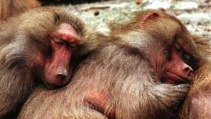 schlafende-paviane